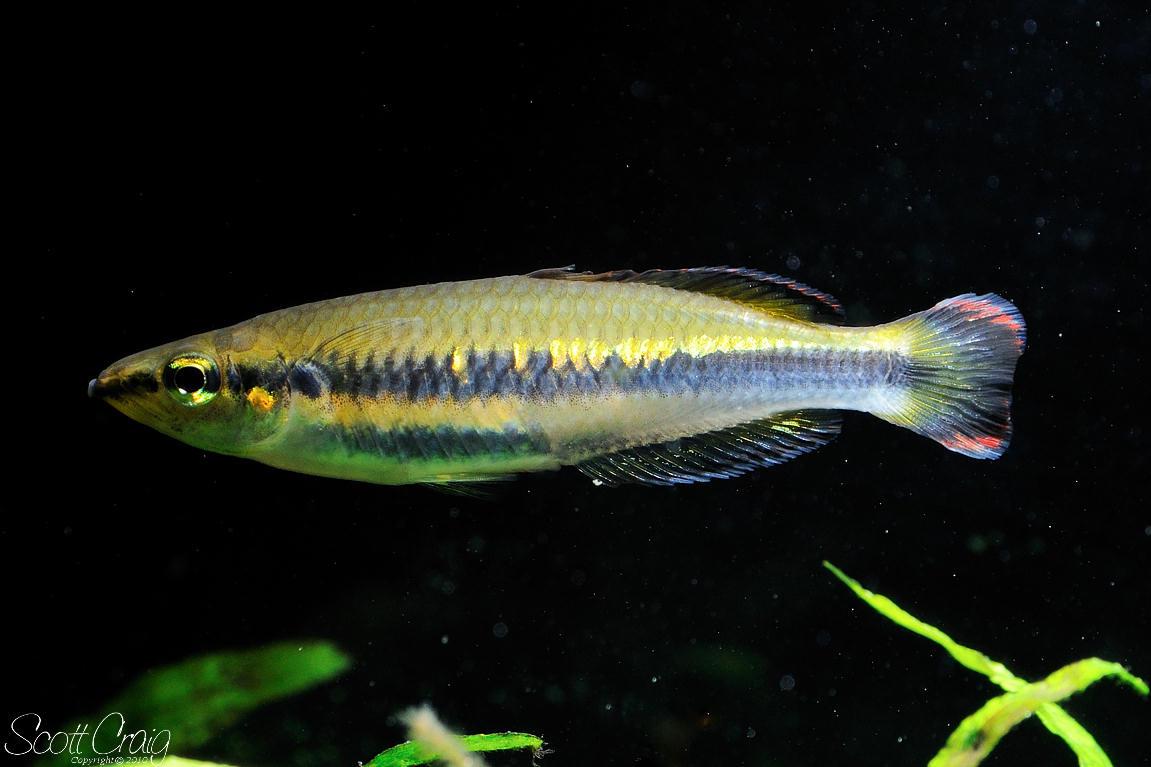 Madagascar Rainbowfish