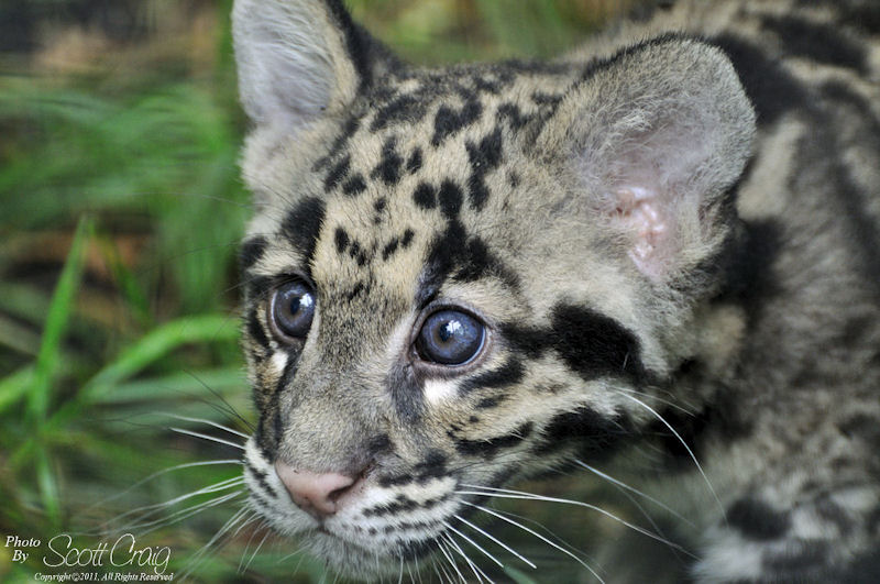 clouded leopard cub nature fotozones